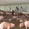 Sử dụng chế phẩm thay thế thuốc kháng sinh trong chăn nuôi