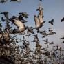 Đua chim bồ câu - Môn thể thao thượng lưu tại Nam Phi