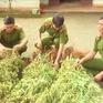 Người trồng hàng trăm cây cần sa tại Đắk Lắk khai… để cho gà ăn