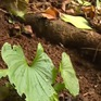 Bảo tồn các giống cây dược liệu tại vườn quốc gia Cát Bà