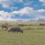 Quảng Bình chấm dứt việc thu tiền phí đồng cỏ chăn thả trâu bò
