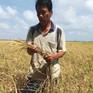 Hơn 5.000ha cây trồng ở Bình Thuận bị thiệt hại do nắng hạn