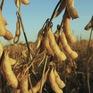 Nông dân Mỹ tích trữ đậu nành chờ hạ nhiệt căng thẳng Mỹ-Trung