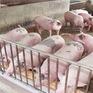 Giá lợn hơi giảm khoảng 5.000 đồng/kg