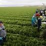 Australia sắp có thị thực mới cho lao động nông nghiệp