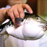 Nhật Bản kích hoạt hệ thống cảnh báo khẩn cấp vì cá nóc chứa độc
