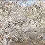 Mùa hoa phủ trắng Mộc Châu
