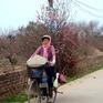 Ngắm hoa đào Nhật Tân xuống phố ngày cuối đông