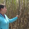 Rộ nạn phá hoại ruộng vườn do hiềm khích ở ĐBSCL