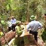 Vụ phá rừng pơmu Quảng Nam: Trả hồ sơ để điều tra bổ sung