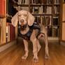 Chú chó 12 tuần tuổi thành nhân viên của Bảo tàng Mỹ thuật Boston