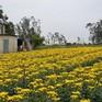 Cần Thơ: Làng hoa Tết thiệt hại vì thời tiết xấu