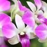 Hoa lan – Loài hoa may mắn trong dịp Tết