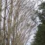 Vườn cao su bị phá hoại trong kỳ thu hoạch