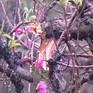 Bắc Ninh: Hàng trăm gốc đào bị chặt phá, người dân lo mất Tết
