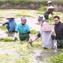 Ngày mới ở làng chuyên canh rau cần Hoàng Lương