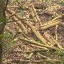 """Rừng phòng hộ Ngàn Me """"bỗng biến thành"""" rừng sản xuất"""