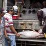 Ngư dân Nam Trung Bộ với niềm vui trúng mùa, được giá cá ngừ