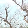 Rừng bần cổ thụ đứng trước nguy cơ xóa sổ