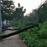 Hàng loạt cây xanh trên Quốc lộ 1 (TP.HCM) ngã đổ trong mưa