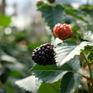 Nông dân Đà Lạt trồng thành công phúc bồn tử đen