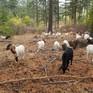 Mỹ tăng cường dùng dê chống cháy rừng
