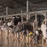 Xuất khẩu sữa chính ngạch sang Trung Quốc: Cơ hội đi kèm với thách thức