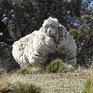 """Australia đau buồn trước cái chết của cừu """"siêu lông"""""""