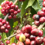 Nông dân đầu tư chế biến và tiêu thụ cà phê