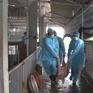 Hơn 200 xã ở Hà Nội chưa thoát dịch tả lợn châu Phi