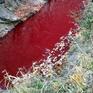Dòng suối chuyển màu đỏ vì máu lợn