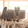 Nông dân Hà Nam tìm sinh kế mới sau dịch tả lợn