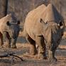 Nỗ lực cứu loài tê giác đen của các nước châu Phi