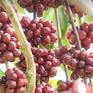 Nhiều hệ lụy từ thực trạng thiếu nhân công thu hái cà phê