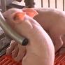Quảng Nam nỗ lực đảm bảo nguồn cung thịt lợn dịp Tết Nguyên đán