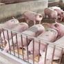 Nhiều lo ngại trước đề xuất giảm thuế nhập khẩu thịt lợn, thịt gà
