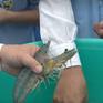 Giải pháp nuôi tôm cỡ lớn khẳng định bước tiến vượt bậc của ngành tôm Việt