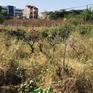Hàng nghìn cây đào chết héo ngay trước Tết Nguyên đán