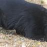 Nhiều khó khăn, bất cập trong công tác bảo tồn gấu