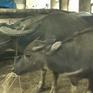 Sẵn sàng hỗ trợ Sa Pa di chuyển đàn gia súc tránh rét