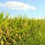 Giá lúa xuống thấp khiến nông dân ĐBSCL gặp khó khăn