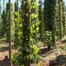 Nhiều giải pháp cho việc vỡ quy hoạch vùng trồng hồ tiêu