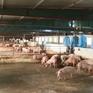 Người chăn nuôi lao đao vì tin đồn dịch tả lợn châu Phi