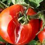 Cảnh báo dịch bệnh gây tổn thất cho vùng trồng cà chua