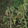 Virus xoăn lá phá hoại, người dân bất lực nhổ bỏ cây cà chua