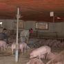 Chưa phát hiện dịch tả lợn châu Phi tại trang trại quy mô lớn