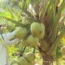Lạ lùng dừa sáp Trà Vinh
