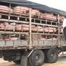 Tăng cường giám sát nguồn thịt lợn