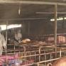 Lai Châu xuất hiện ổ dịch tả lợn châu Phi