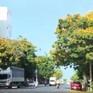 Rực rỡ mùa hoa lim xẹt ở Phú Yên